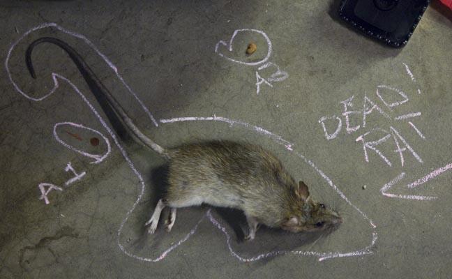 какая порода кошек ловит крыс