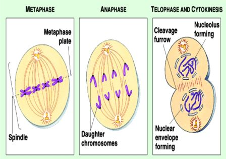 Metaphase- Anaphase- Telophase