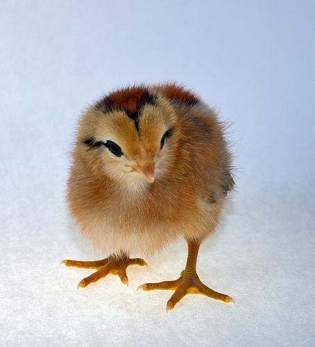 baby ameraucana chicken