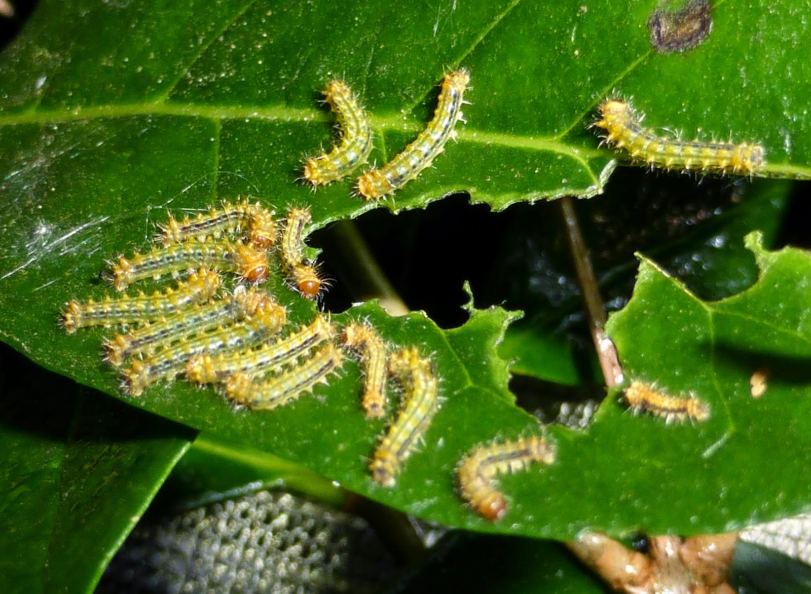 Syntherata escarlata L1 caterpillars