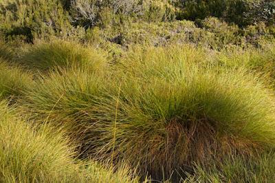 Buttongrass (Gymnoschoenus sphaerocephalus)
