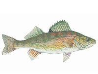 Walleye Fish Pictures