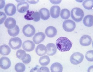 plasmodium-vivax-fase-trofozoit-tua