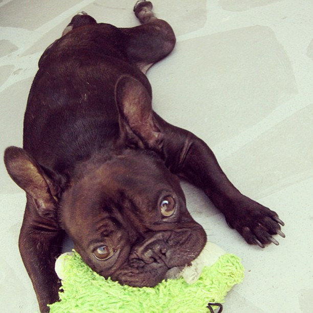 frenchie with toy