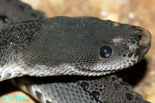 Life is short, but snakes are long: Dragonsnakes  Tubercle Snake