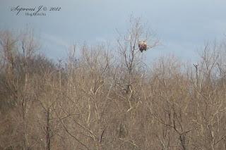 Rétisas (Haliaeetus albicilla)