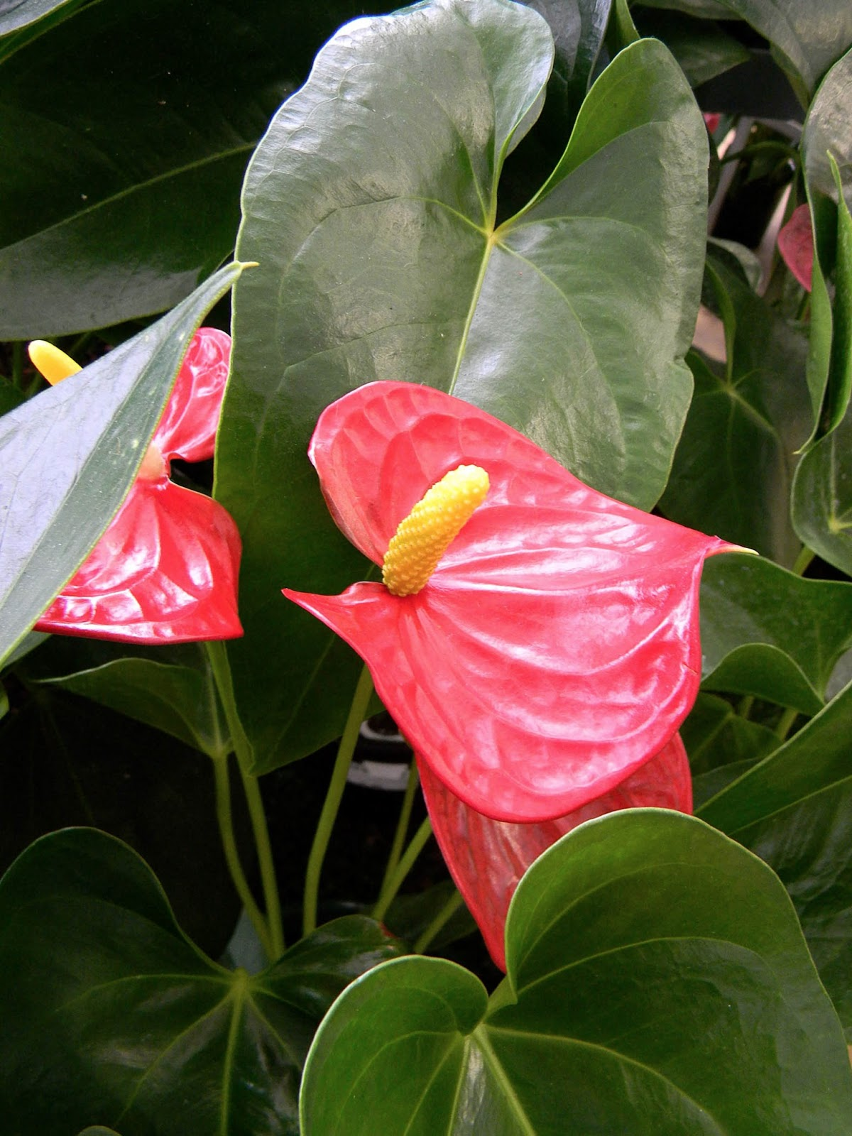 Цветы фламинго уход фото