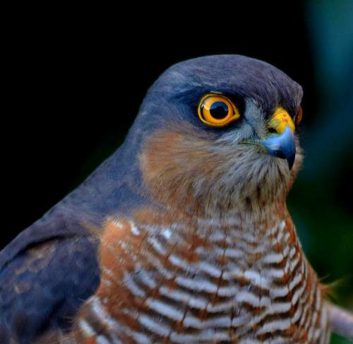Indian birds - Image of Eurasian sparrowhawk - Accipiter nisus
