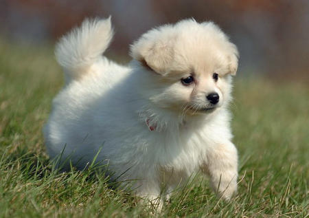 All I want for christmas is a teacup pomeranian puppy i: