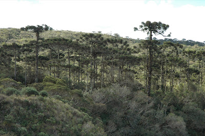 floresta-de-araucaria