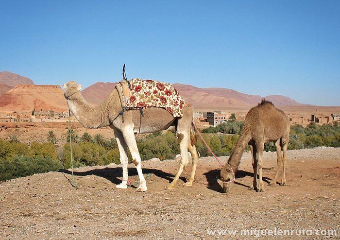Camellos-Tinerhir-Marruecos