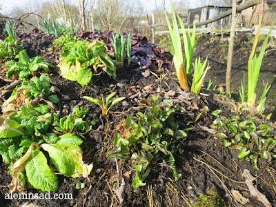 калужница, весна, веcной, ростки, черенки, аленин сад, aleninsad
