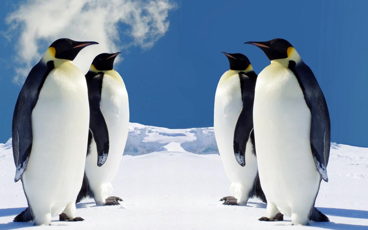 http://1.bp.blogspot.com/--h8qKtlLtj8/TgtN6dHVD1I/AAAAAAAAAm8/1KbnM4D5NSQ/s1600/hq_penguins-1280x800.jpg