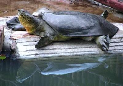 Rafetus swinhoei tortuga gigante
