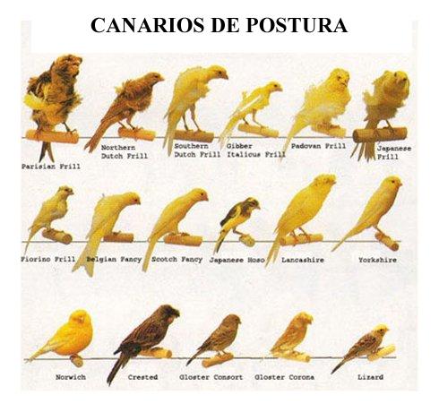 variedades canarios de postura