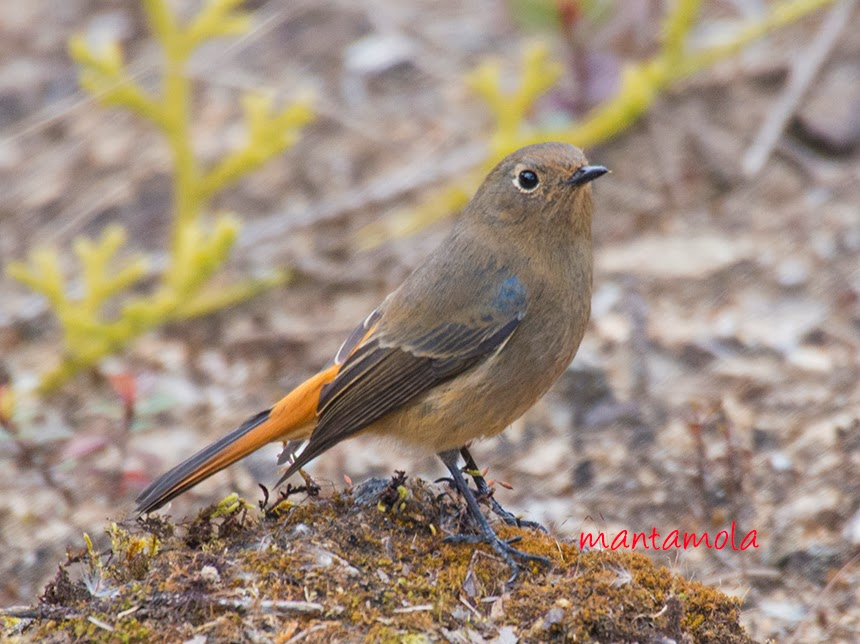 Blue Fronted Redstart(Phoenicurus frontalis)