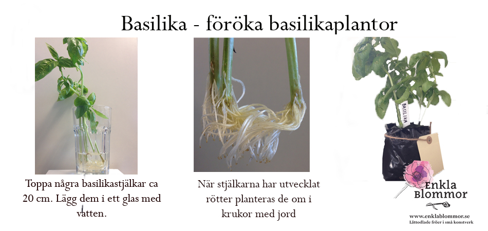 odla frön inomhus