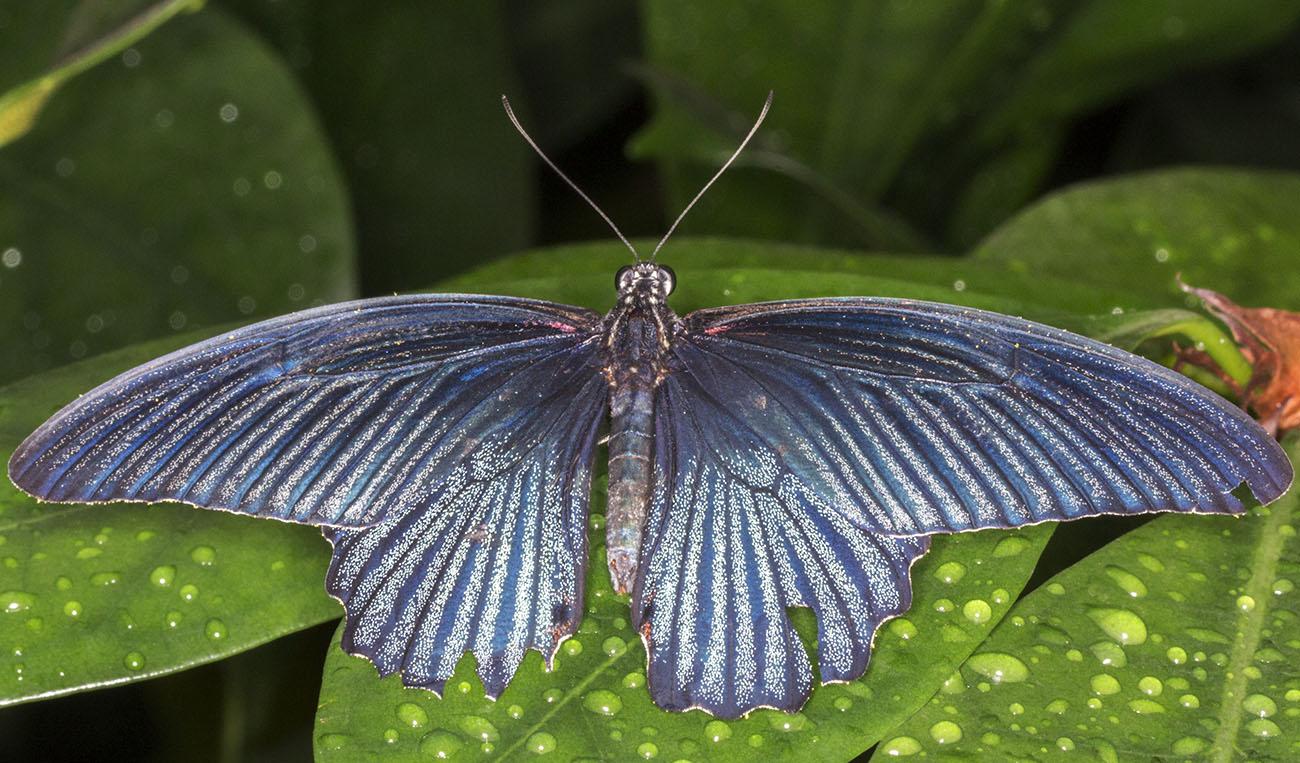 Great Mormon, Papilio memnon, male.  Wisley Gardens, Butterflies in the Glasshouse, 10 February 2015.
