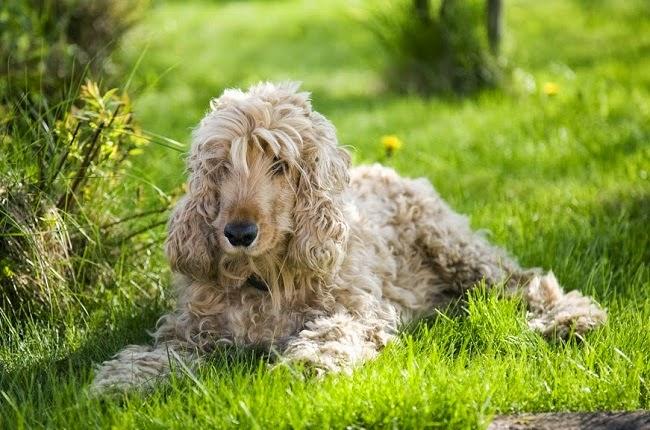 Pęcherzyca liściasta u psa