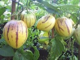 buah pepino