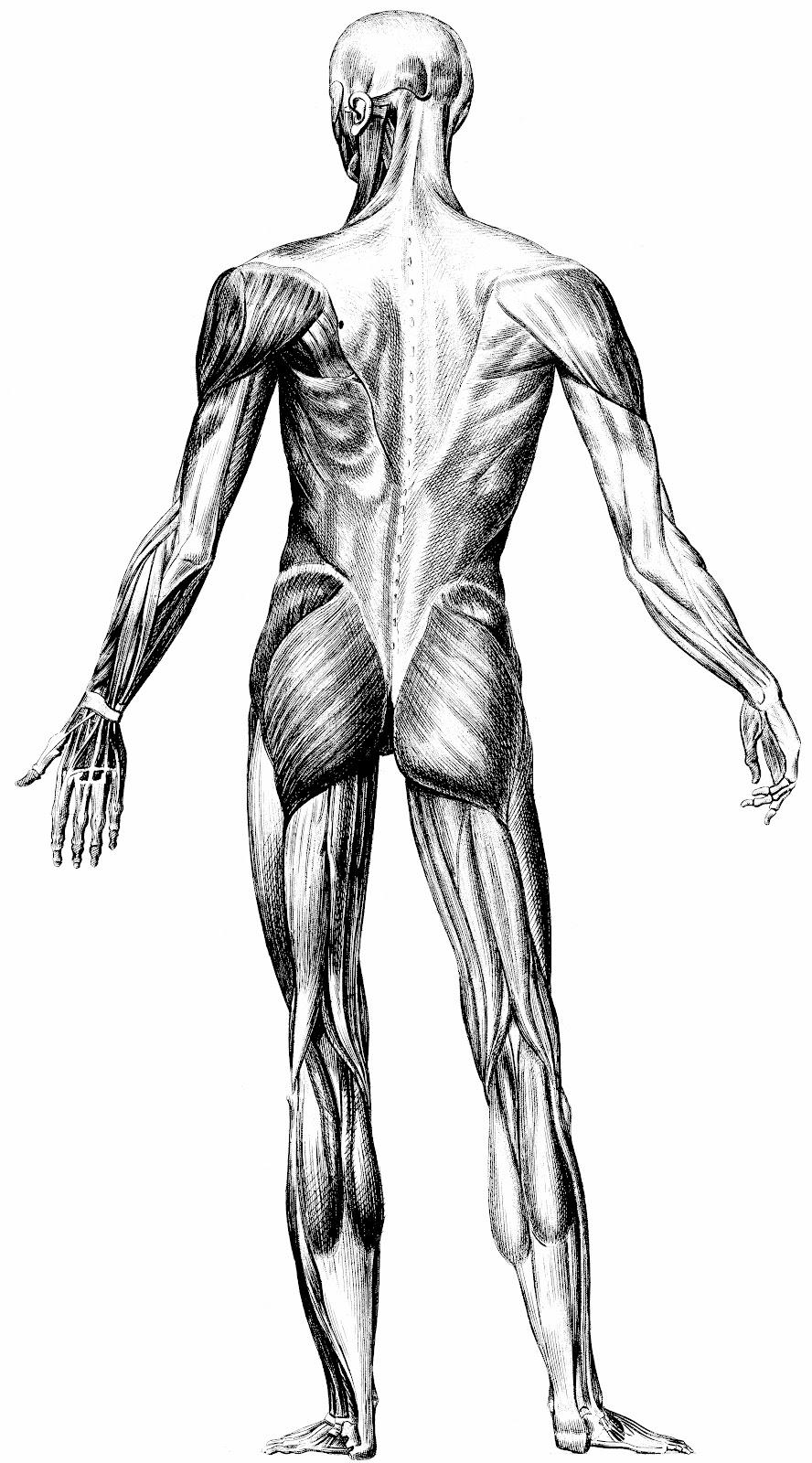 Taller de Arte Juan Herrera: Anatomía Artística - Músculos - Alta ...