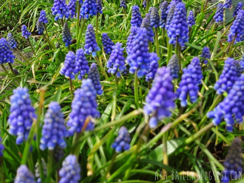 Purple springtime flowers