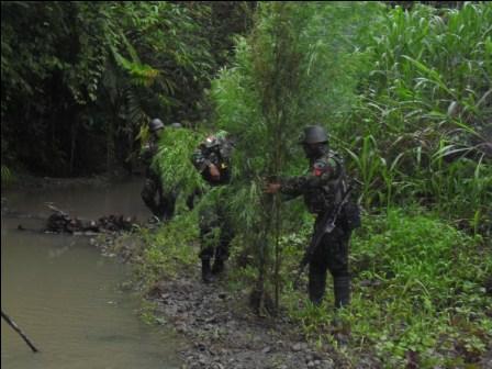 TNI Temukan Lahan Ganja di Perbatasan RI-PNG