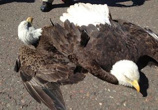 Águias despencam do céu após garras ficarem presas durante batalha
