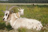 kozy rogate