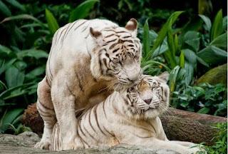 singapore zoo, kebung binatang singapura, Singapore Zoological Gardens, Mandai Zoo, wisata di singapore, hewan mesra