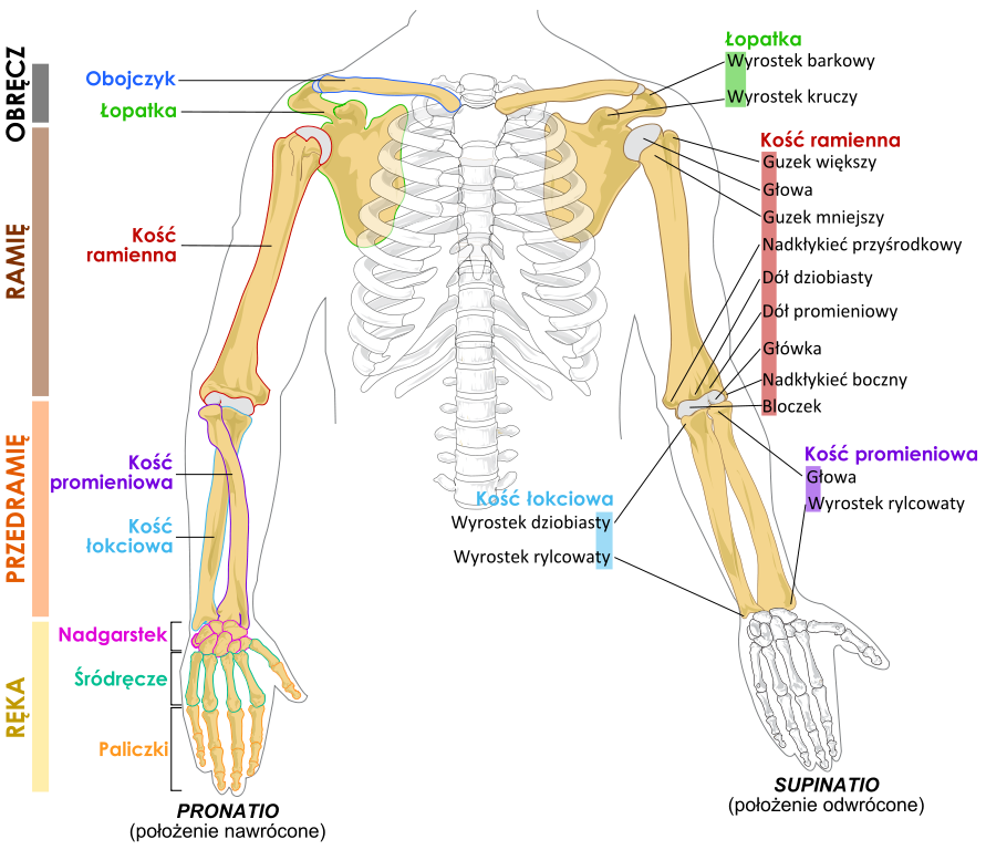 Be sure to print of the  Labeled Scapula Diagram