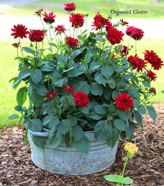 Galvanized Tub of Red Dahlias www.organizedclutter.net