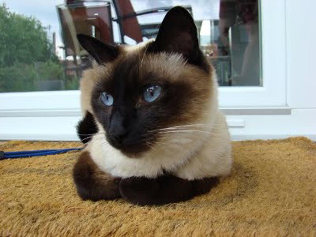 Siamese Cat Information Wallpaper Download