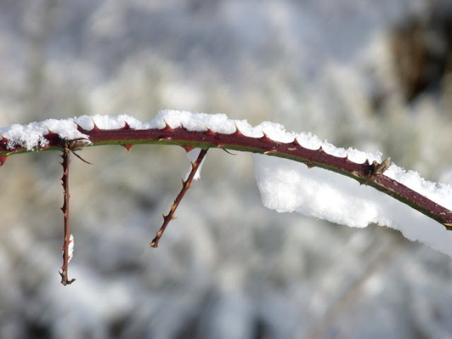 Winter snow on a branch