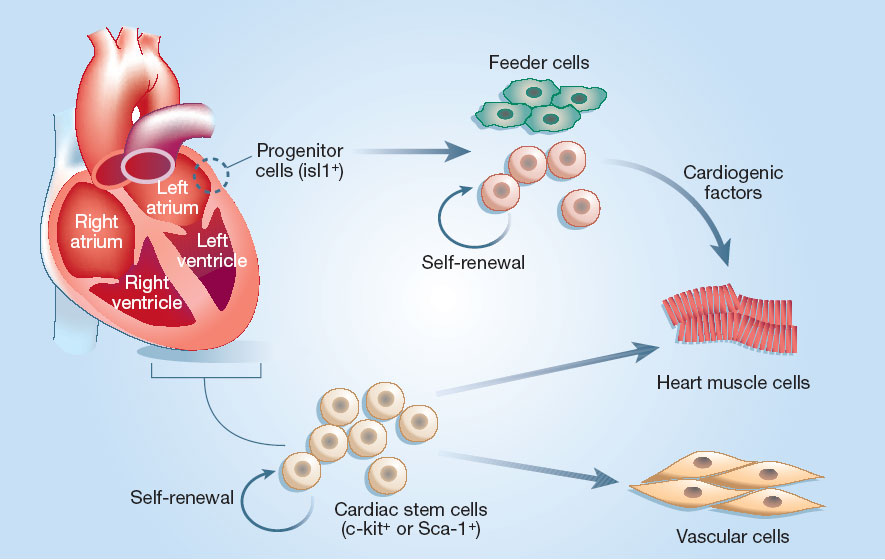 Giostar Stem Cell Treatment Scientists Created Mini Heart On