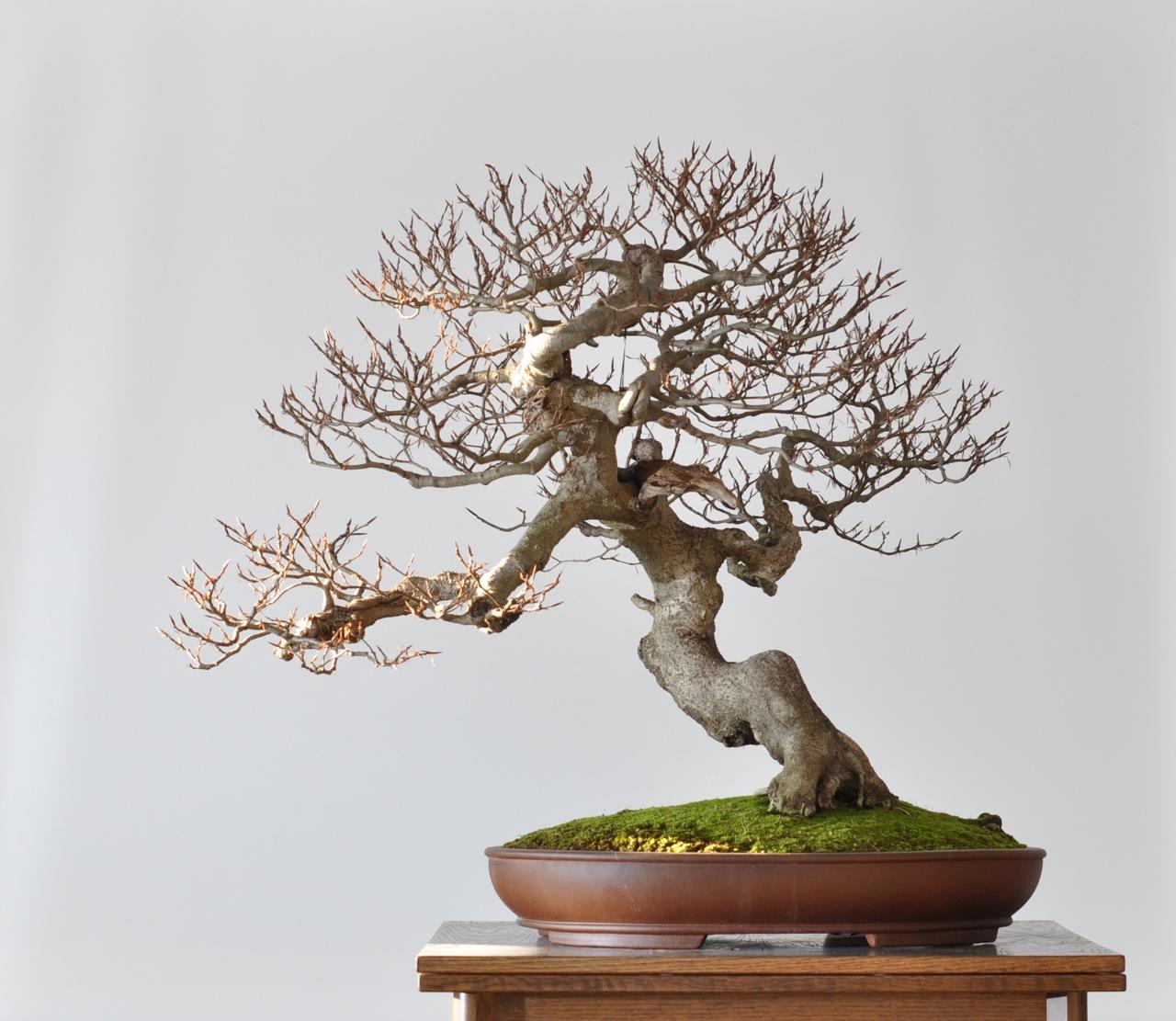bonsai und beistellpflanzen dezember 2011. Black Bedroom Furniture Sets. Home Design Ideas
