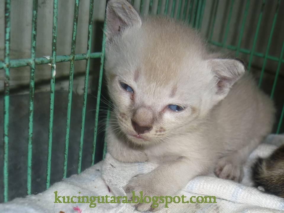 Kucing Utara Anak Kucing Comel Terbiar