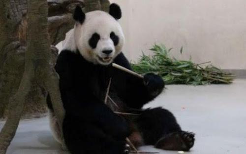 Panda estaria fingindo gestação para ganhar cuidados em zoológico de Taiwan