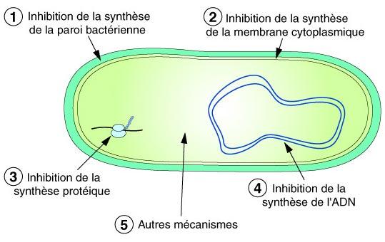 ENTÉROBACTÉRIES ET ANTIBIOTIQUES | microbiologie