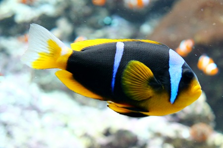 Allard's anemonefish