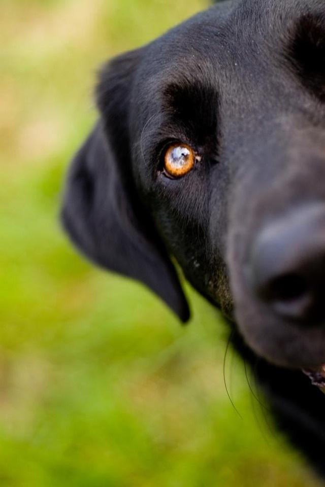 Labrador preto espiando