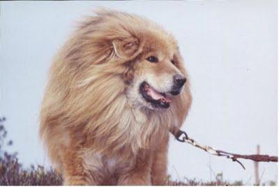Lion Dogs From Tibet the tibetan mastiff