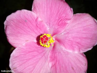 Image: Pink Hibiscus Flower