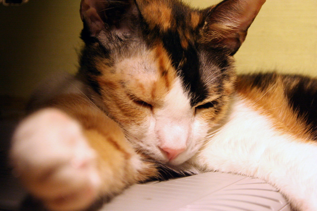 Sleepy Cat Cats Kitten Kitty Pic Picture Funny Lolcat Cute Fun Lovely