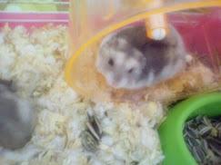 hamster saya (^_^)