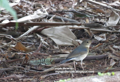 Siberian Blue Robin in Bidadari