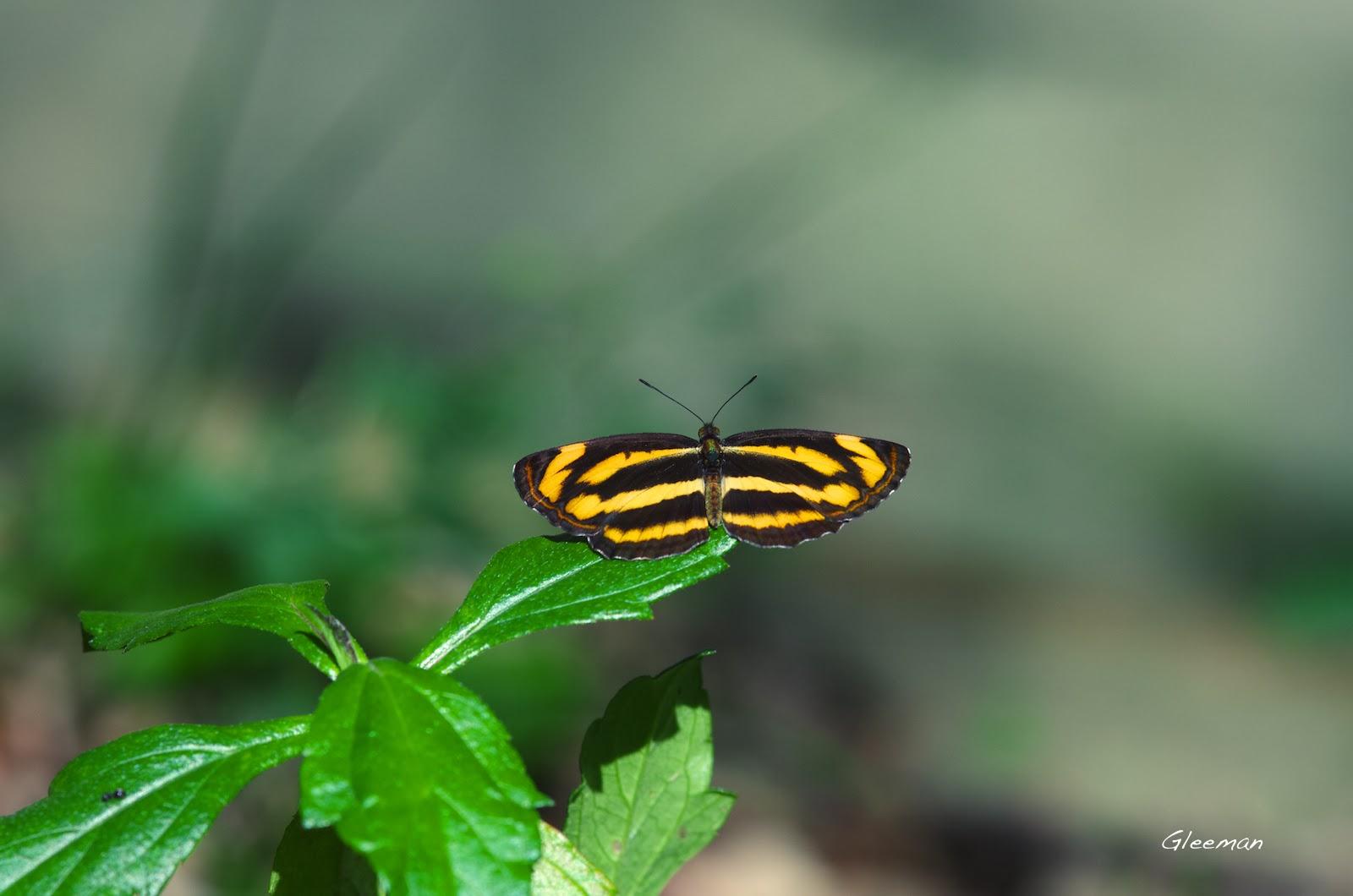 雞南山的金三缐蝶(金環蛺蝶)