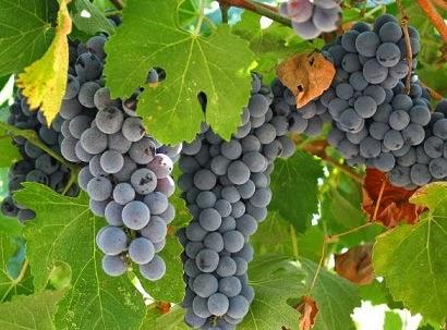 Pokok Anggur Yang Benar