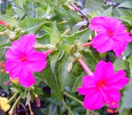 Khasiat Manfaat Kembang Pukul Empat Mirabilis Jalapa L Tanaman Herbal