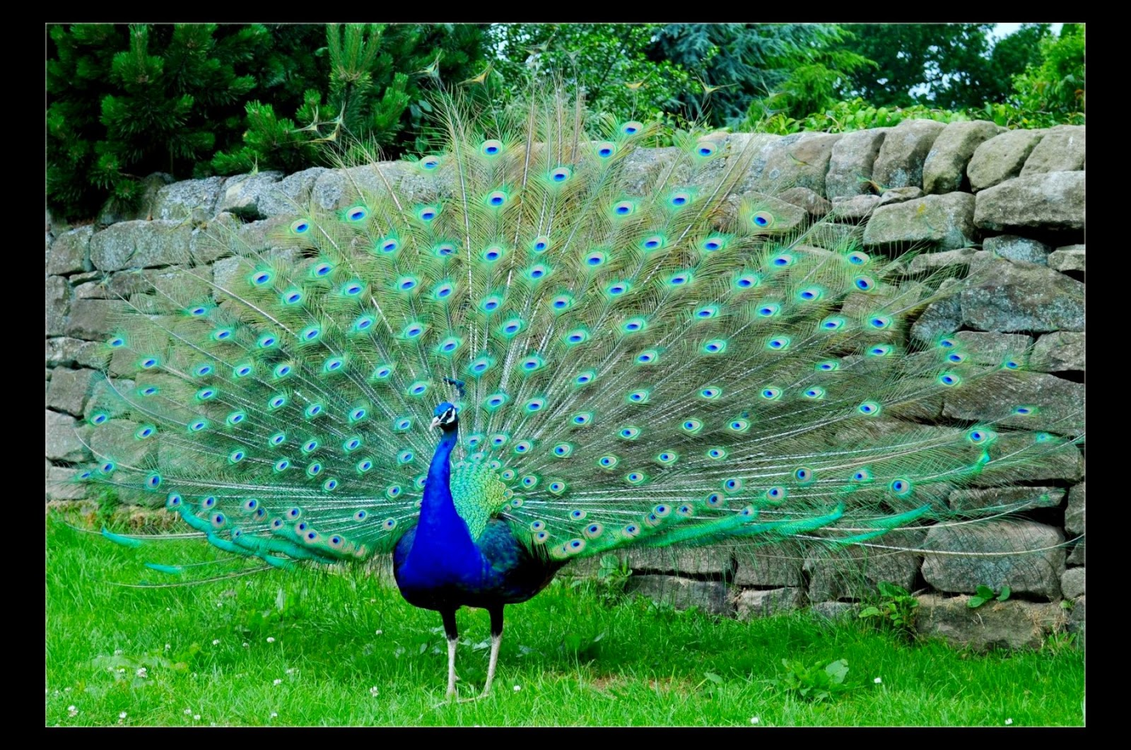 desktop hd wallpapers free downloads: peacock bird hd wallpapers